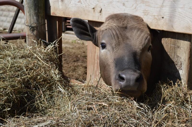 Eating hay