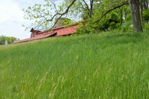 Midway barn grass