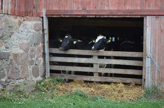 Parker cows3