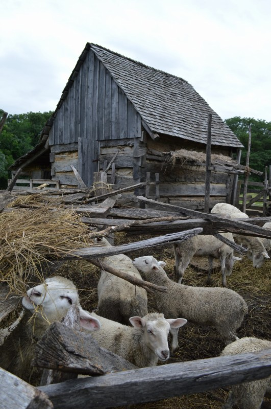 Sheep and log barn