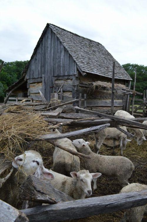 Sheep and log barn